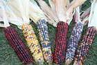 INDIAN CORN - 3 Multi Colored Ears - Fall Autumn Decrative O